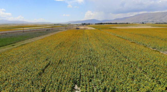 Patates tarlaları yerini ayçiçeği tarlalarına bıraktı